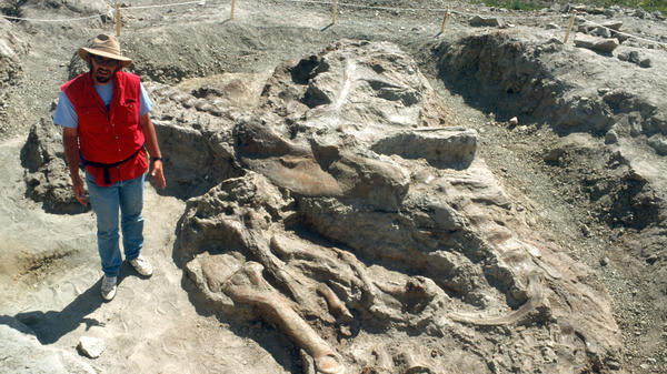 Jack Horner, curator of paleontology at the Museum of the Rockies, provides scale for Tyrannosaurus rex fossils at the excavation site in Fort Peck, Mont., in June 1990.