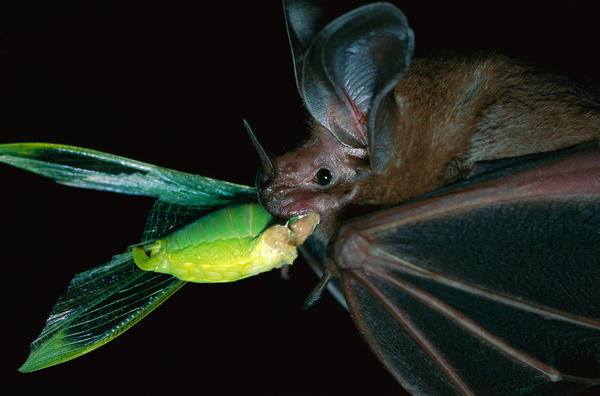 "A white-throated round-eared bat (<em>Tonatia silvicola</em>) catches — and munches — a katydid on Barro Colorado Island in Panama. Katydids are ""the potato chips of the rain forest,"" scientists say."