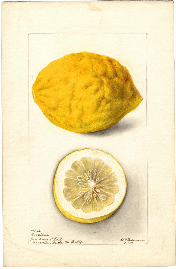 1899 Watercolor of a Corsican Lemon grown in California.