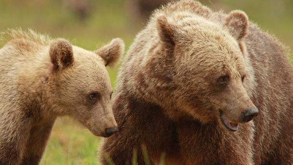A female Scandinavian brown bear with her cub. Mother bears take care of their young for a year longer, likely due to hunting regulations that protect bears with cubs.