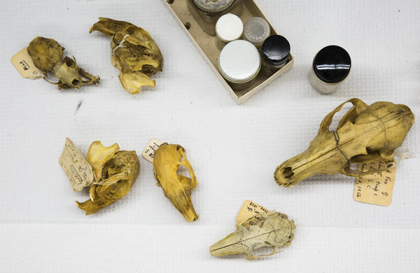 An assortment of mammalian skulls in the Mercer University collection.