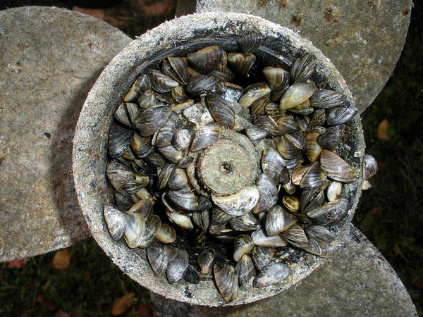 Invasive mussels can cause costly damage to irrigation and hydropower systems.