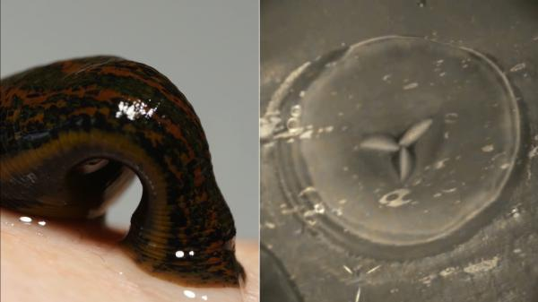 Leeches clamp on to their host with their front sucker, then use three teeth to cut in and start feeding.