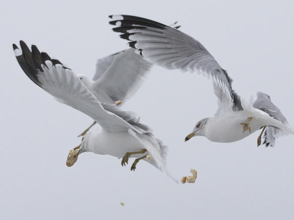 Gulls compete for the airborne material at Toronto's Cherry Beach.