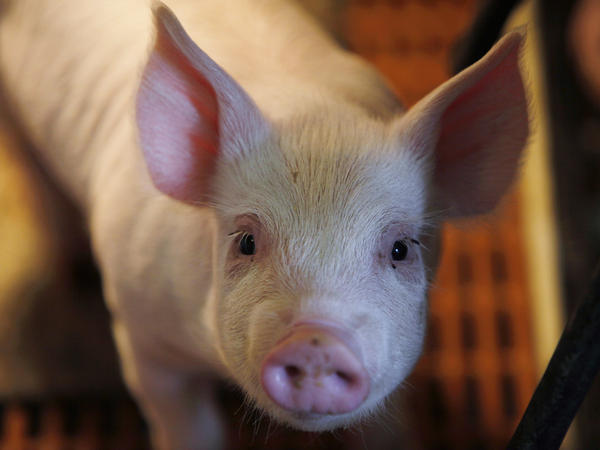 A pig stands in its pen at a farm in Collins, Iowa.