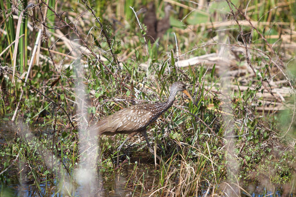 A limpkin at Arthur R. Marshall Loxahatchee National Wildlife Refuge on Jan. 30, 2018.
