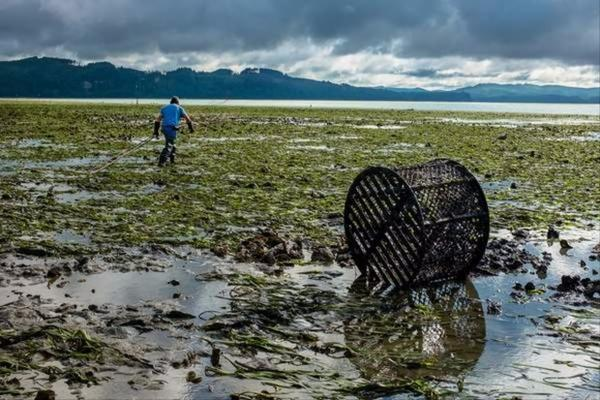 <p>The eel grass that is being displaced by the colonies of burrowing shrimp in the Willapa Bay not only provides growing oysters a place to live above the mud, but also holds the mud together, allowing oyster workers to walk along the beds with relative ease.</p>