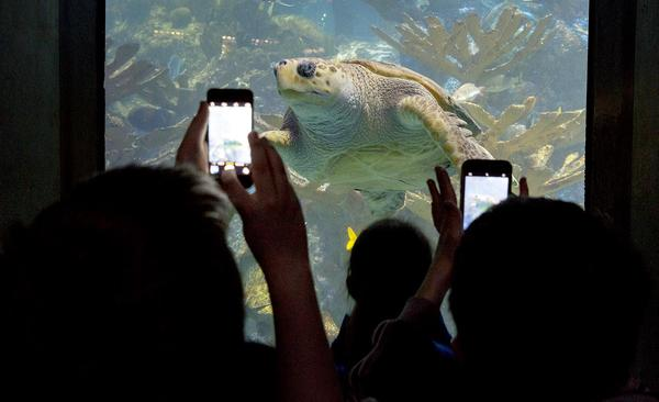 Young visitors to the aquarium use their phones to capture a picture of a loggerhead sea turtle.