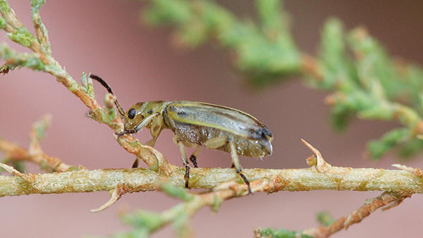 The tamarisk beetle (Diorhabda carinulata) eats a scaly-leafed invasive shrub that has spread across the West.