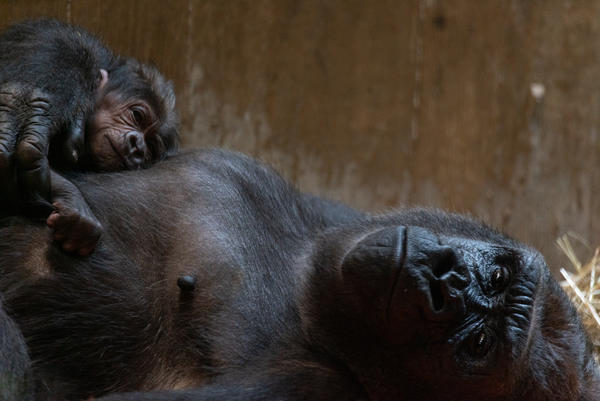 Moke, a western lowland gorilla, was born on Sunday to great delight at the Smithsonian's National Zoo.