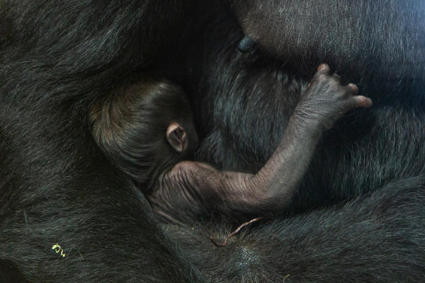 The baby gorilla has been able to nurse from his mother, 15-year-old Calaya. Zoo staff had been concerned that the pair wouldn't bond and had selected a potential foster mom ahead of the birth.