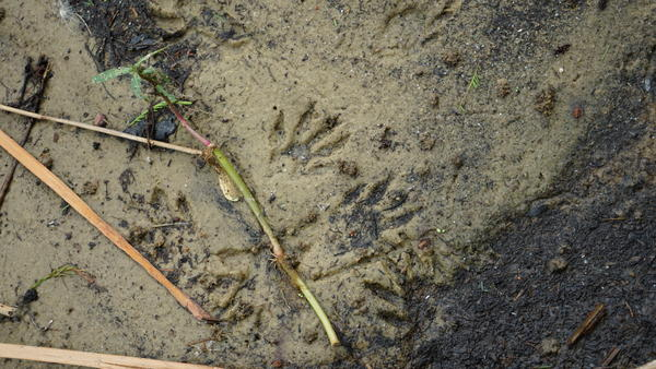 Raccoon tracks on the shore of Lake Russell.