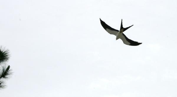 A swallowtailed kite flies above the Disney Wilderness Preserve