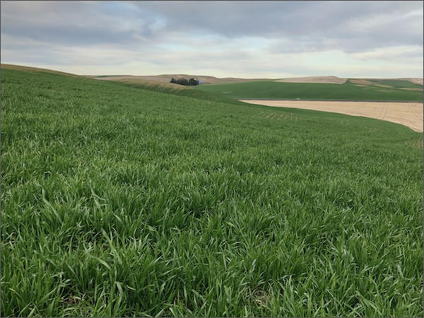 All signs point to a good harvest of winter wheat in eastern Washington, but growers are feeling uneasy after China imposed new tariffs on American wheat.