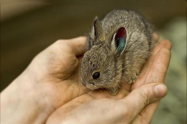 The pygmy rabbit, at less than a pound, is the smallest rabbit in North America.