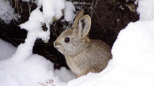 Biologists are now trying to breed pygmy rabbits in the wild. So far biologists have found around 90 burrows this winter. Penny Becker says the DNA samples have shown more than 40 individual rabbits.