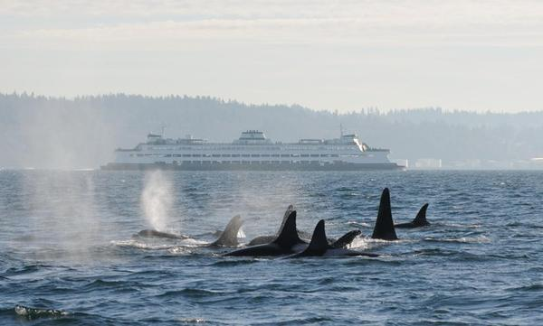 <p>OSU researchers used environmental DNA filtered from seawater to detect the passage of endangered orcas in the Puget Sound.</p>