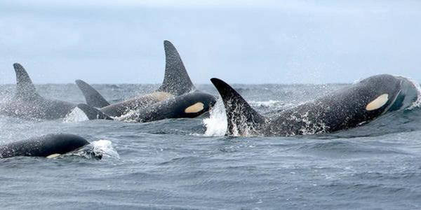 <p>Members of Puget Sound's south resident orca population.</p>