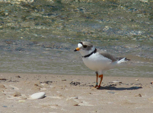 There were 76 pairs of Great Lakes plovers as of last year.