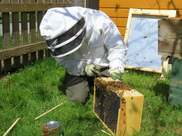 Volunteer Shayne Noble moved purchased honeybees into a hive at a west Olympia park on Saturday.