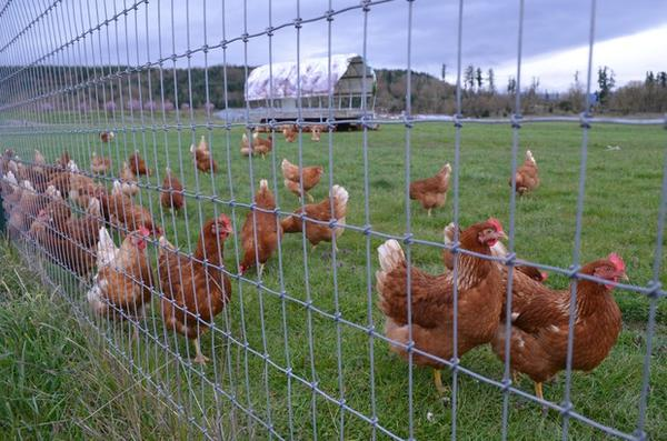 "<p>Wilcox Family Farms has changed how it raises chickens in order to protect the Nisqually River and its fish. Those changes have earned the farm a ""salmon-safe"" label for its eggs.</p>"