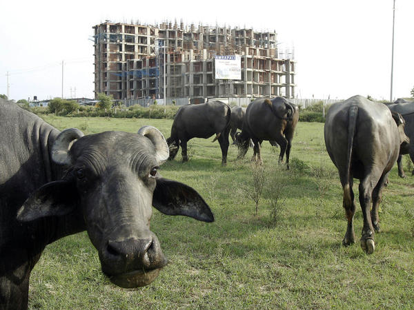 Buffalo graze in the backdrop of apartments under construction in Greater Noida, Aug. 3, 2011. While farmers seek fair compensation for their land, many worried buyers have invested their life savings in down payments on apartments that haven't been built yet.