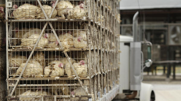 A truckload of live turkeys arriving at a Cargill processing plant in Springdale, Ark., on Aug. 4. Cargill recalled fresh and frozen ground turkey products produced at the plant from Feb. 20 through Aug. 2 due to possible contamination from the strain of salmonella linked to 76 illnesses and the one death.