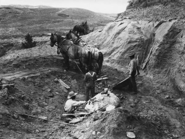 Brown (lower left) works in the quarry in 1905 in Hell Creek, Mont., where the first <em>T. rex</em> was found. Brown and his team used horses to pull away layers of soil and rock above the dinosaur bones.