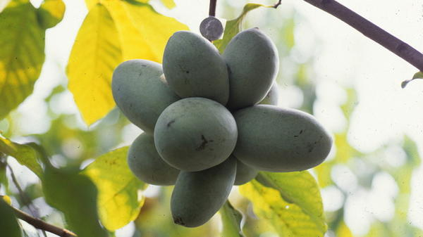 Plant scientist Neal Peterson has documented pawpaws extensively — both wild varieties and his cultivated versions. This photo from the 1990s shows a cluster of fruit hanging from a tree.
