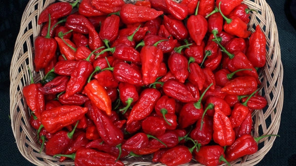 <p>The curry contest that put several participants in the hospital in Scotland likely used a relative of these 'Dorset Naga' chillies, one of the hottest varieties of chilli in the world.</p>