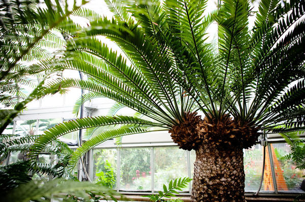 "<p>A cycad stands at the United States Botanic Garden in Washington, D.C., on Oct. 19. The 300 ""modern"" cycad species burst onto the scene about 12 million years ago, though the lineage of cycads extends back 300 million years.</p>"