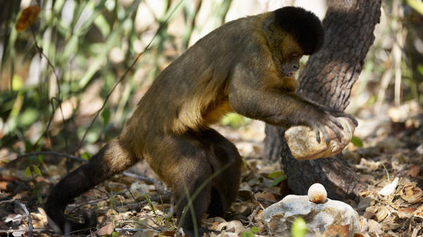 A tufted capuchin uses a stone hammer to crack open a nut in Brazil's Parnaiba Headwaters National Park.