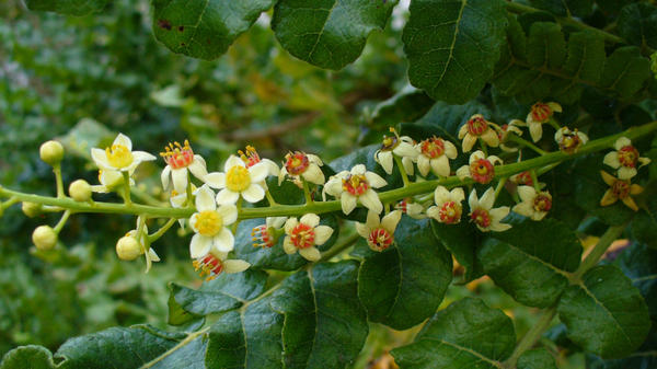 Frankincense comes from the <em>Boswellia sacra</em> tree, which grows mainly in the Horn of Africa. The number of trees that produce the fragrant resin could decline by 90 percent in the next 50 years.