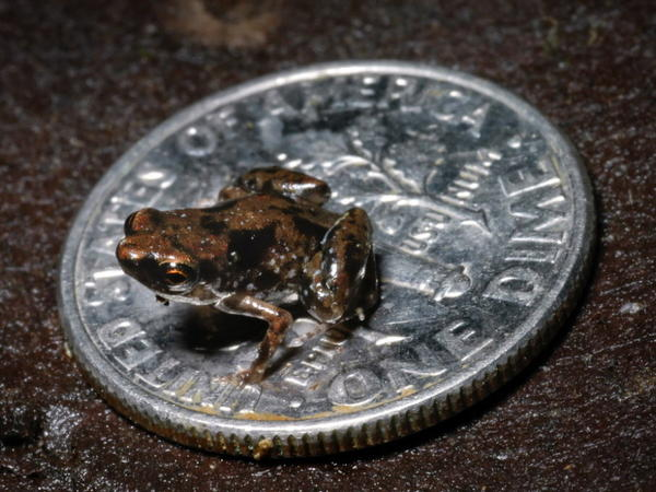 The tiny frog called <em>Paedophryne amauensis</em>, sitting on a dime.