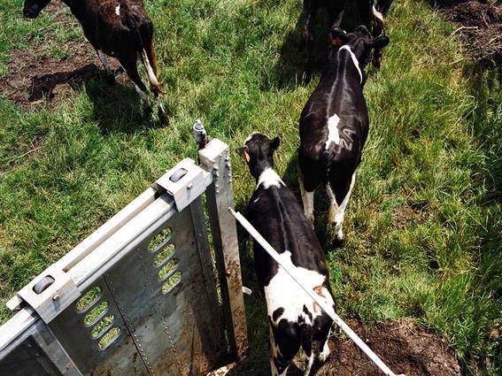 Dennis Leonardi brings heifers to new pasture. Loleta, Humboldt County.