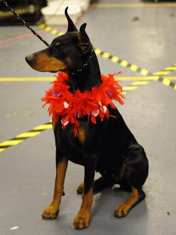 Mia, a Doberman, sits in the backstage area during the 136th Westminster Kennel Club Annual Dog Show at Madison Square Garden Tuesday. Filmmaker Martin Scorsese launched a defense of the breed, featured in his movie <em>Hugo</em>, in a recent editorial.