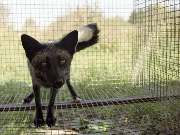 This little fox is genetically tame — the product of a long-running experiment begun by a Russian scientist in 1954.