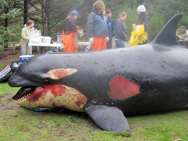 Victoria's body had suffered blunt trauma and bruising. An investigative team says the whale was healthy when she died.