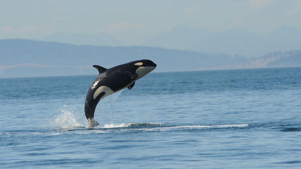 Orca L112, also known as Victoria, was 3 years old when she washed up on the Washington coast. An investigation into her death has been inconclusive.