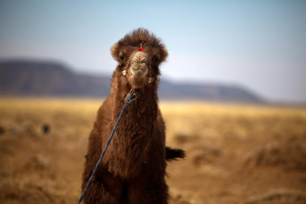 A baby Bactrian camel is tied up at the edge of Bat-Erdene's small farmstead. Bactrian camels, like all Mongolian mammals, have thick fur to withstand temperatures of 40 degrees below zero in winter. Even in spring, temperatures regularly dip below freezing.