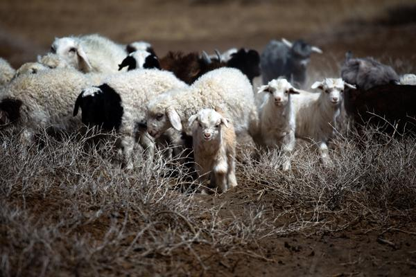 For centuries, Mongolians have relied on herding for their livelihood, depending on animals such as these cashmere goats and sheep for food, fuel and income.