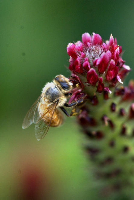 A bee does its work in a thick bed of crimson clover. Jefferson experimented with clover in his fields after returning from France.