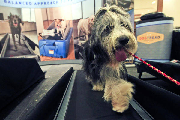 Elvis, a 4-year-old bearded collie, works out on a dog treadmill at the Pennsylvania Hotel. Show-dog owners make sure their dogs are in top shape before competing.