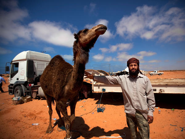 A Bedouin who says he's eaten camel 22 times in a month poses with a camel outside a makeshift protest camp off the highway on the road between Sirte and Al-Sidra.