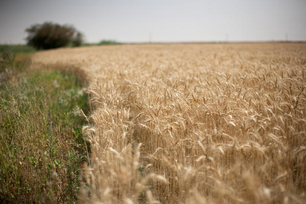 Wheat grows on South Valley Company's land.