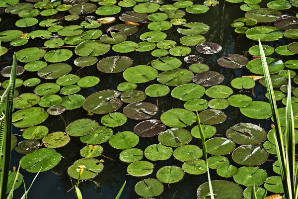 Pond lilies float in one of the cascading bodies of water in the Pond Garden.