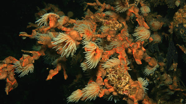 Coral polyps feed in the plankton-rich waters by Santa Catalina, Panama. A new study of coral reefs off the Pacific coast of Panama shows that dead coral reefs may be able to recover from rising ocean temperatures and other environmental disasters.