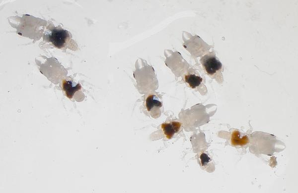 Male gnathiids.