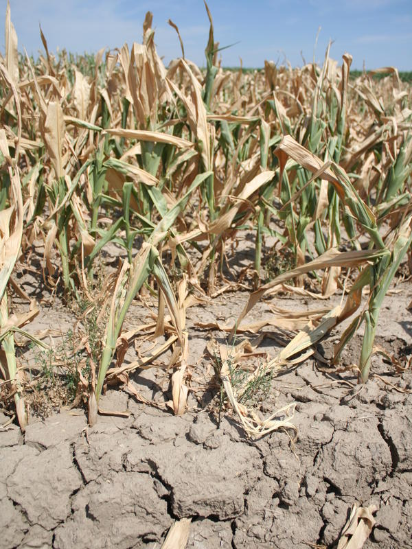The drought has resulted in withered cornstalks and cracked land near Lamar, Colo.