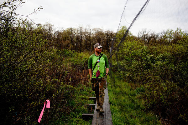 Luke DeGroote, the banding program coordinator, looks for birds trapped in fine-meshed mist nets. Nearly 70 nets cover a 24.7-acre area at Powdermill; they need to be checked every 30 to 40 minutes.